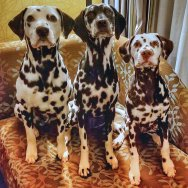 Roguetrippers often travel with 3 Dalmatians when on a road trip
