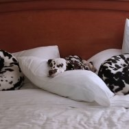 Well trained dogs make great hotel guests when they travel on a roadtrip