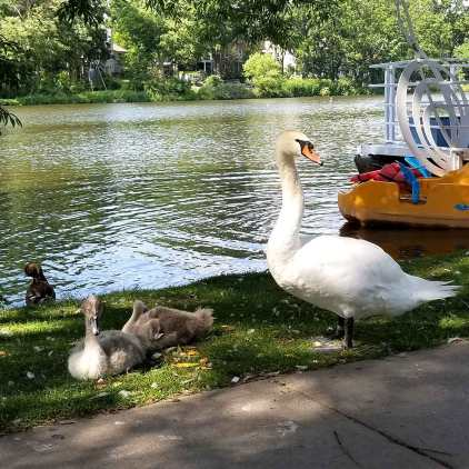 Roguetrippers love to Visit Stratford and check out the swans on Avon River