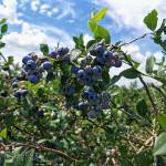 take-a-daytrip-to-go-blueberry-picking-at-TNT-Berries-Shakespeare