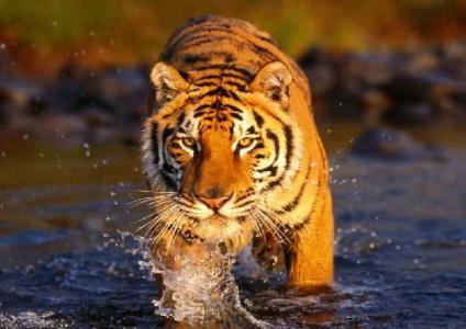 Tiger reserves wildlife