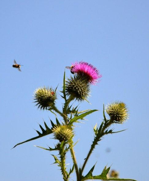 Bees & thistle