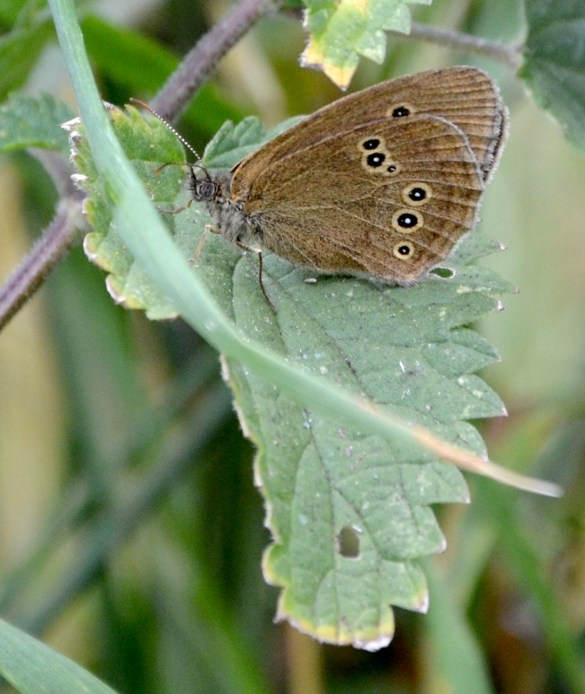 Ringlet on nettle