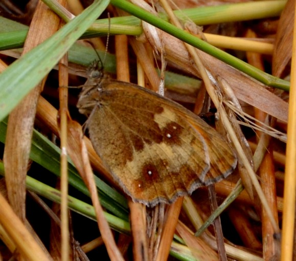 Moer meadow brown