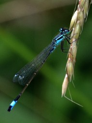 Male blue tailed damselfly