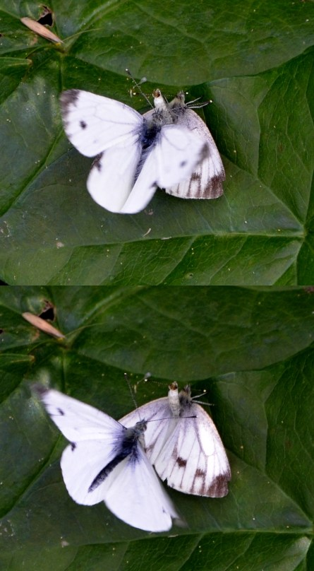"""Small whites """"at it"""" ..."""