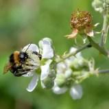 Bee on bramble ...