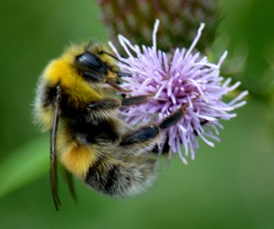 Bee - meet thistle