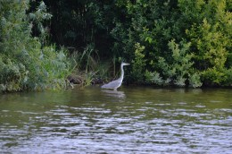 Heron watching