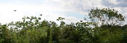 Sparrows at Bracebridge (composite)