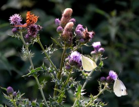 Comma and small whites