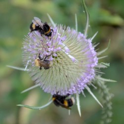 Teeselbees