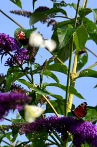 "Buddleia - ""butterfly bush"""