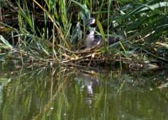Nesting grebe