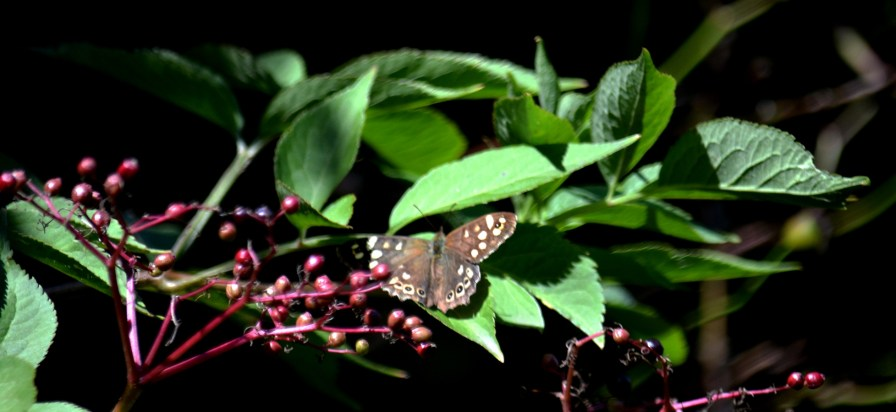 moer speckled wood