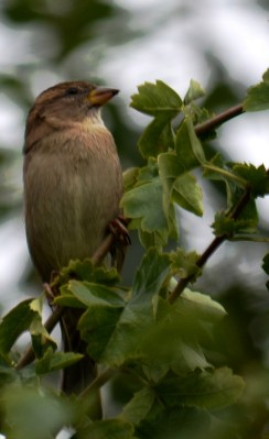 Another sparrow