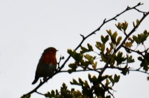Robin just missing being a silhouette
