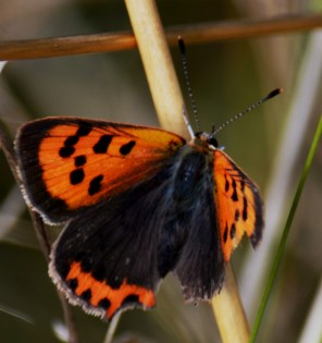 Nibbled small copper