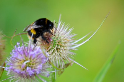 Teasel with a bee
