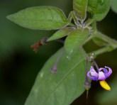 Tiny tiny flower (Solanum dulcamara)