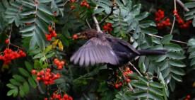 DSC_8695RowanBlackbird