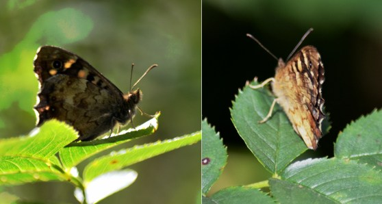 Speckled wood x 2