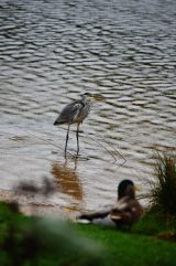 ...and the heron never wears a mac ... In the pouring rain... Very strange