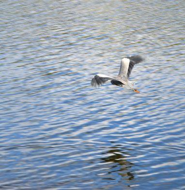 Heron doin' the buggerin' off