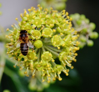 Ivy flower with hoverfly