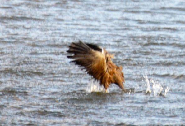 Moorhen landing