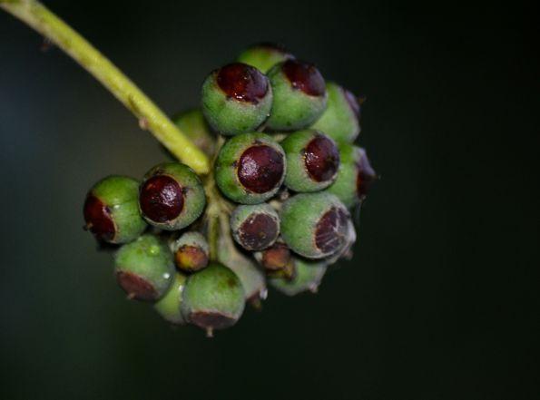 Ivy Fruit