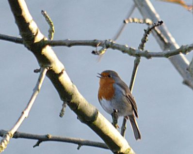 Robins are singing all around