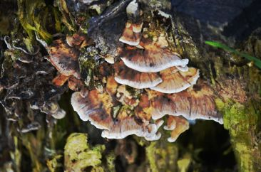 Fungusssesss