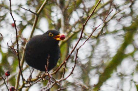 Berrying blackbird