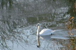 Passing swan