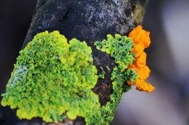 Green lichen and orange fungus