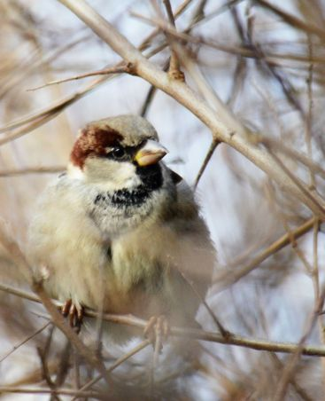 Peevish looking sparrow