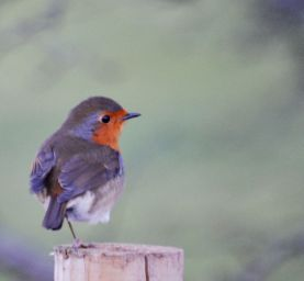 one legged robin