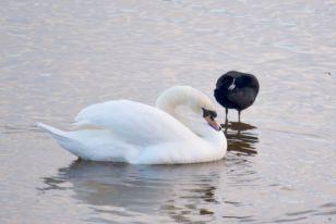 Swan, meet coot