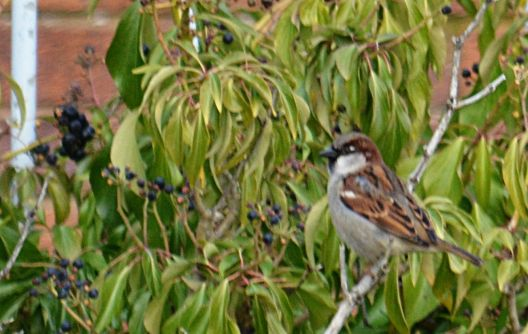 Sparrow on Ivy