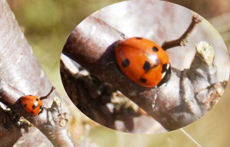 Early, very, ladybird