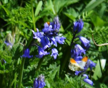 Orange tip butterfly on bluebells