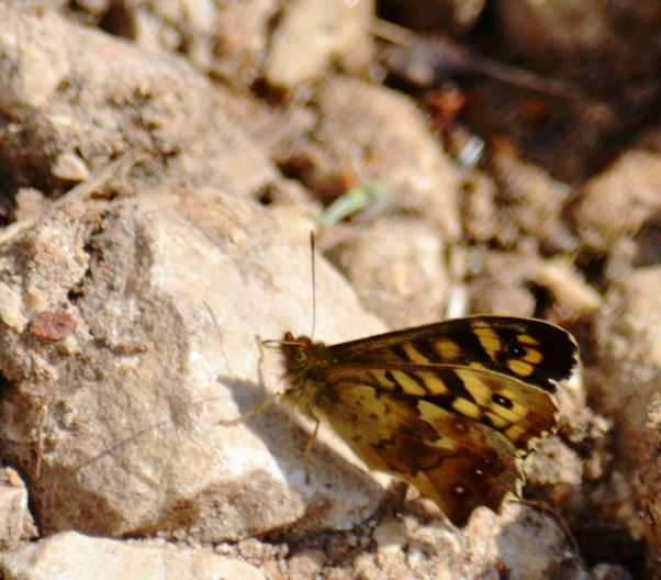 Speckled wood closed