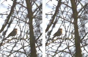 Singing little brown bird