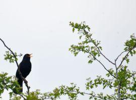 DSC_4814Blackbird