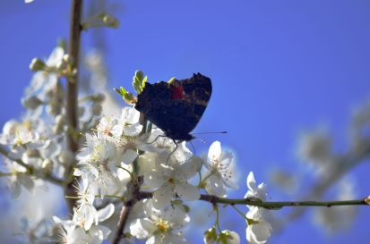 Peacock butterfly on plum blossom