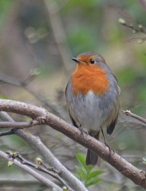 Robin looking wary