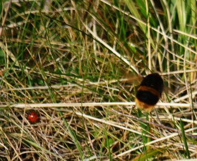 Ladybird and bee