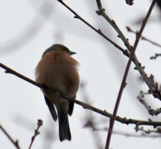 Chaffinch fluffed up