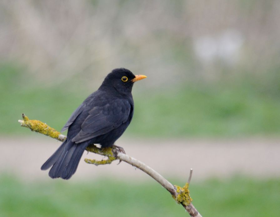 Rather handsome blackbird